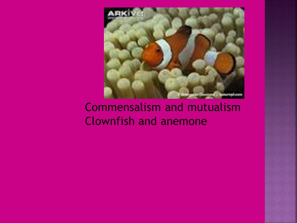 Commensalism and mutualism Clownfish and anemone