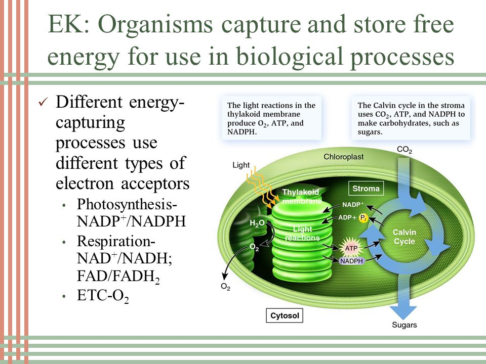 EK: Organisms capture and store free energy for use in biological processes Different energy- capturing processes use different types of electron acceptors Photosynthesis- NADP + /NADPH Respiration- NAD + /NADH; FAD/FADH 2 ETC-O 2