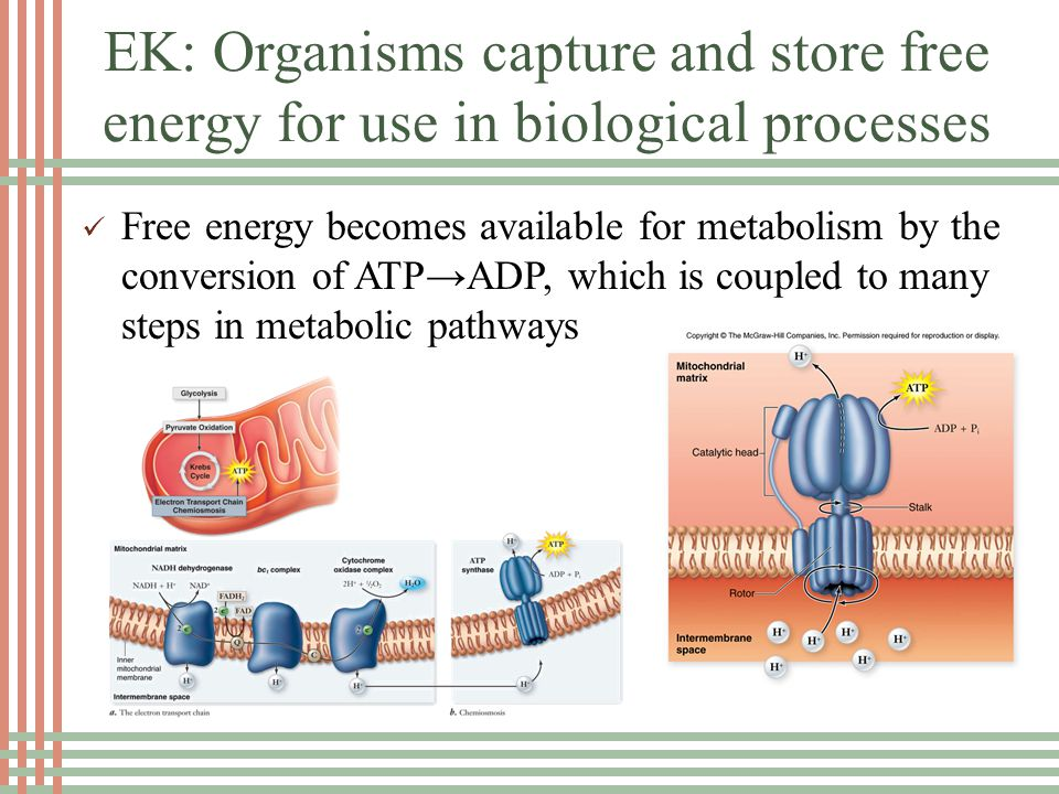 EK: Organisms capture and store free energy for use in biological processes Free energy becomes available for metabolism by the conversion of ATP→ADP, which is coupled to many steps in metabolic pathways
