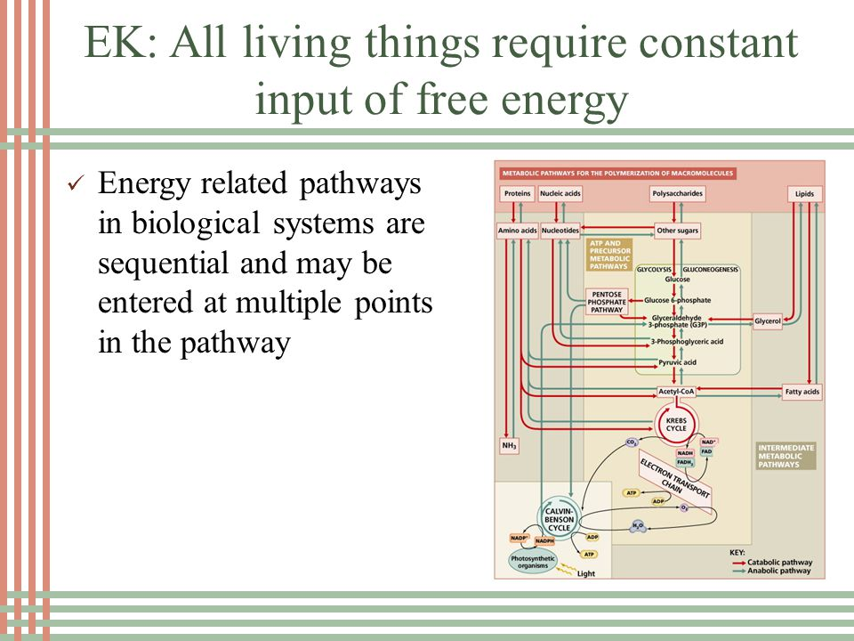 EK: All living things require constant input of free energy Organisms use free energy to maintain organization, grow and reproduce.