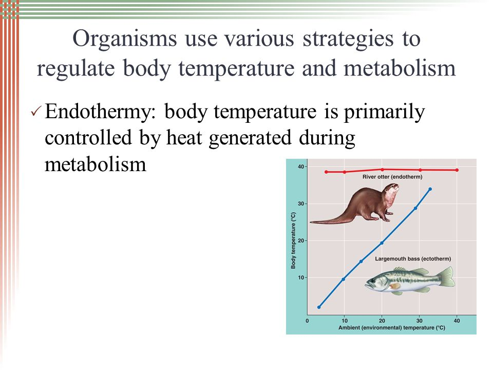 Organisms use various strategies to regulate body temperature and metabolism Ectothermy: body temperature is primarily controlled by heat from external sources