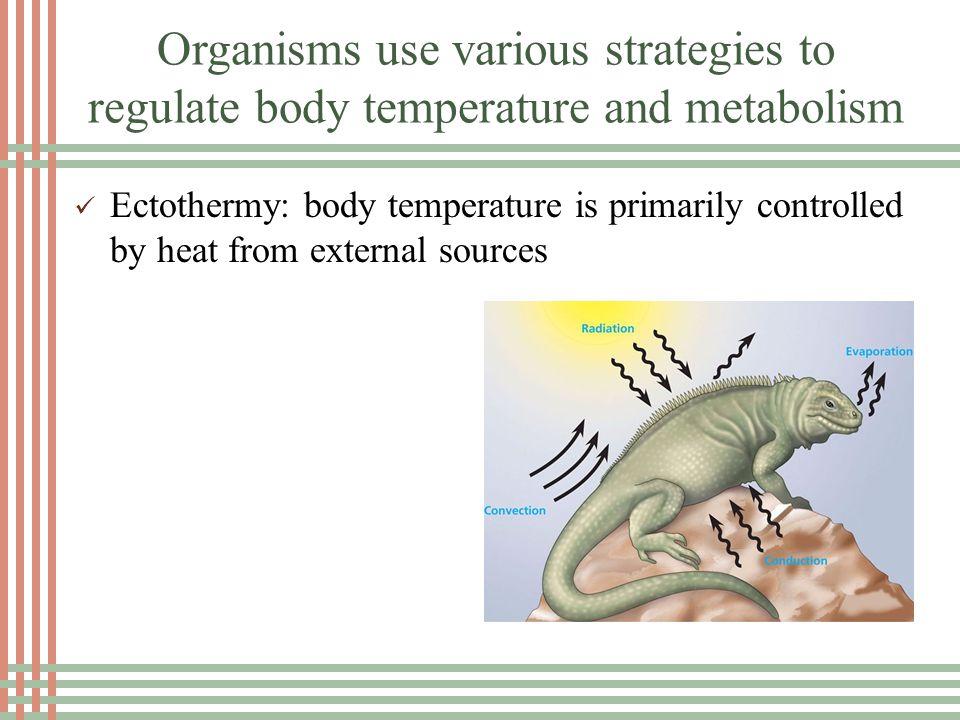 Organisms use various strategies to regulate body temperature and metabolism Insulation Fat Integumentary System Hair, feathers, scales