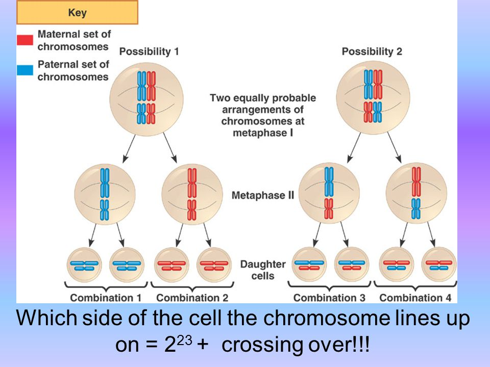 Which side of the cell the chromosome lines up on = 2 23 + crossing over!!!