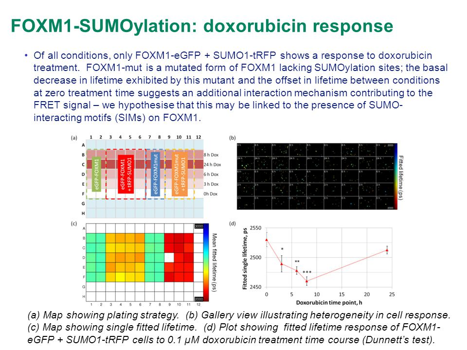 Of all conditions, only FOXM1-eGFP + SUMO1-tRFP shows a response to doxorubicin treatment. FOXM1-mut is a mutated form of FOXM1 lacking SUMOylation si