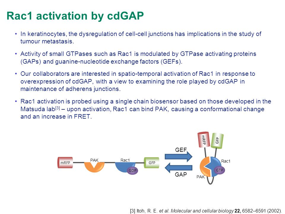 Rac1 activation by cdGAP GFP mRFP PAKRac1 GDP GFP mRFP PAK Rac1 GTP GEF GAP In keratinocytes, the dysregulation of cell-cell junctions has implication
