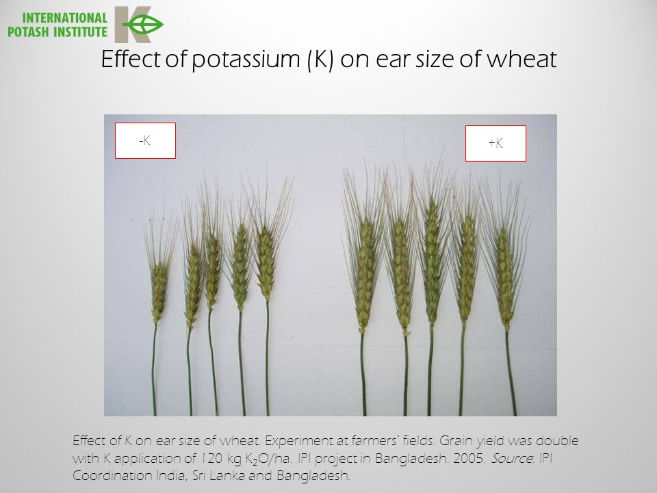 Effect of potassium (K) on ear size of wheat Effect of K on ear size of wheat.