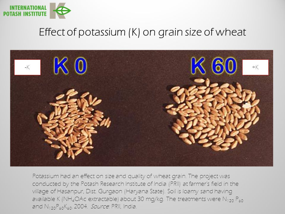 Effect of potassium (K) on grain size of wheat -K+K Potassium had an effect on size and quality of wheat grain.