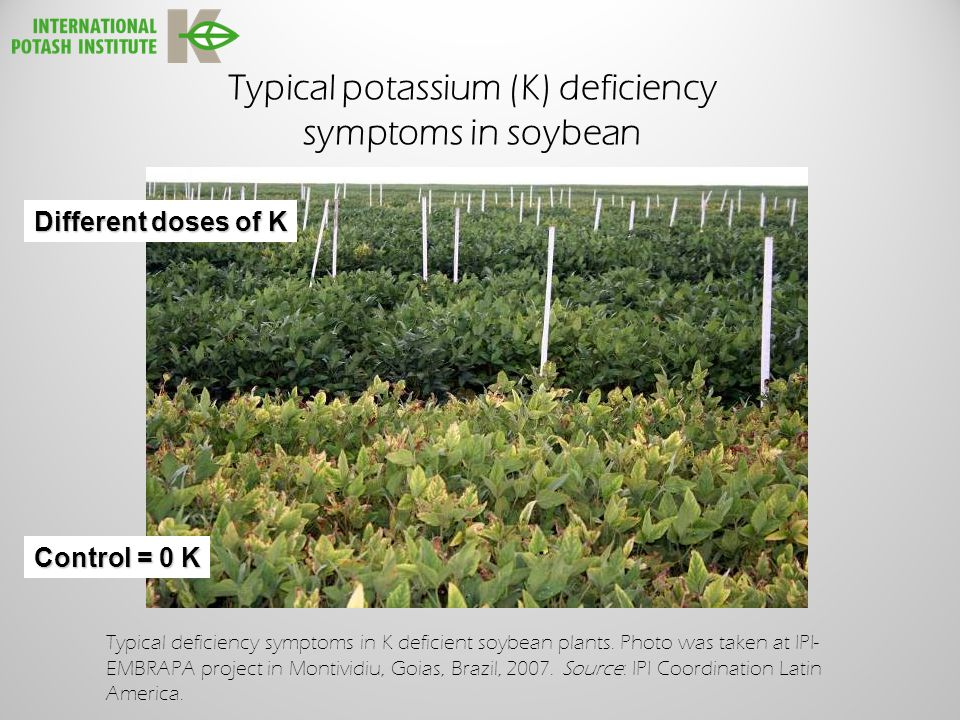 Typical potassium (K) deficiency symptoms in soybean Control = 0 K Different doses of K Typical deficiency symptoms in K deficient soybean plants.