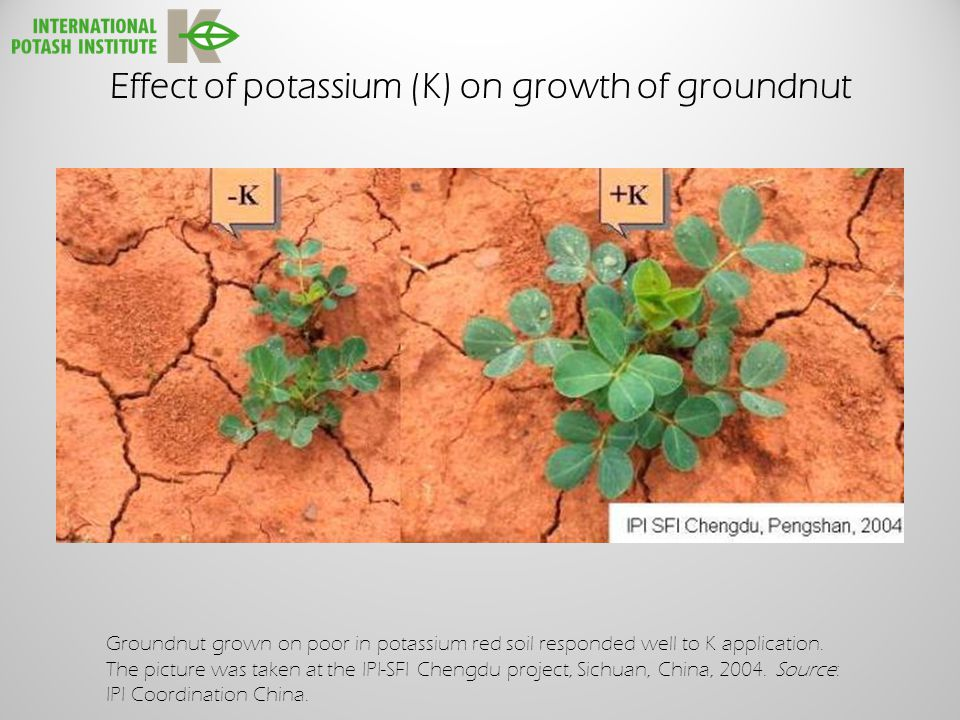 Effect of potassium (K) on growth of groundnut Groundnut grown on poor in potassium red soil responded well to K application.