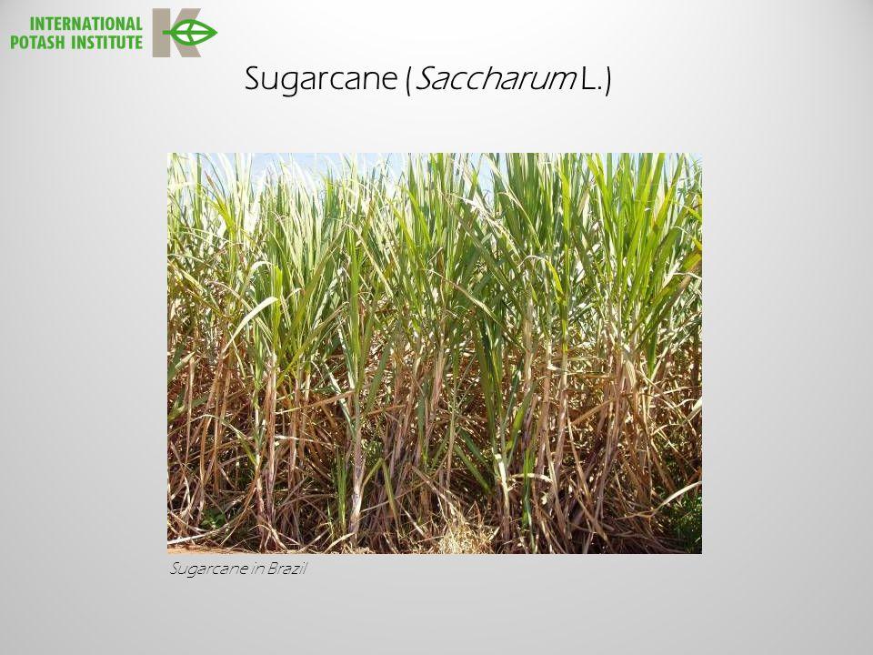 Sugarcane (Saccharum L.) Sugarcane in Brazil