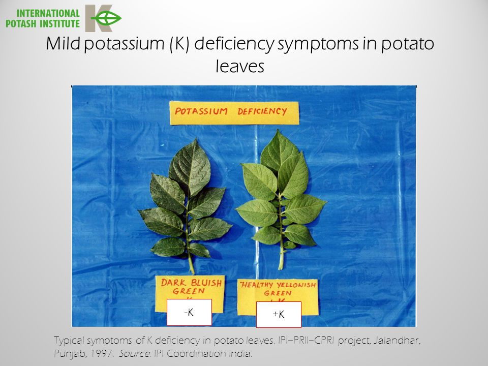 Mild potassium (K) deficiency symptoms in potato leaves +K -K Typical symptoms of K deficiency in potato leaves.