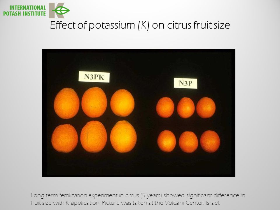 Effect of potassium (K) on citrus fruit size Long term fertilization experiment in citrus (5 years) showed significant difference in fruit size with K application.