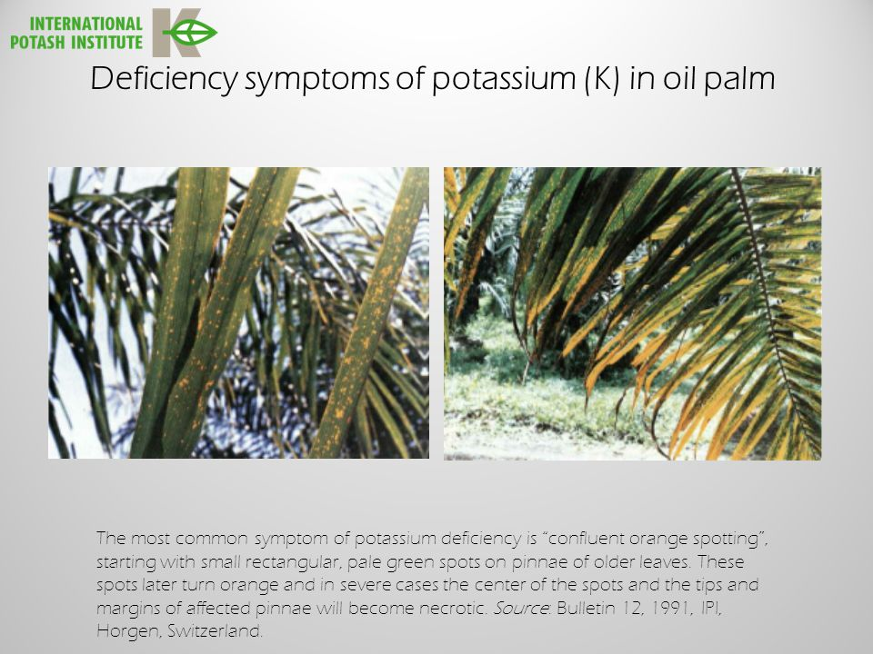 Deficiency symptoms of potassium (K) in oil palm The most common symptom of potassium deficiency is confluent orange spotting , starting with small rectangular, pale green spots on pinnae of older leaves.
