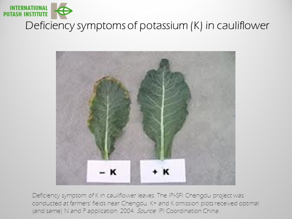 Deficiency symptoms of potassium (K) in cauliflower Deficiency symptom of K in cauliflower leaves.