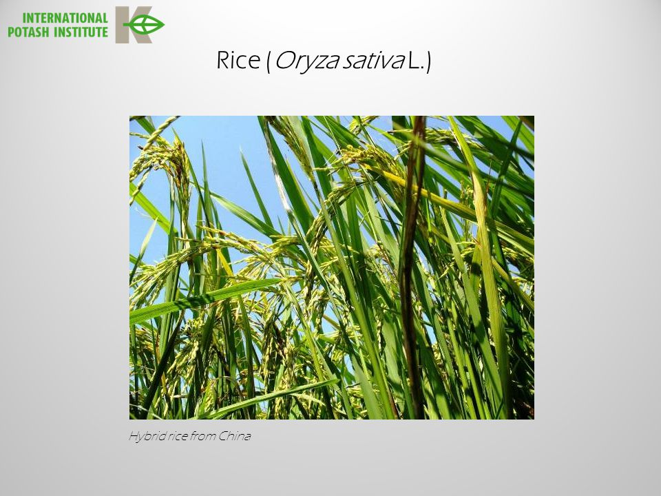 Rice (Oryza sativa L.) Hybrid rice from China