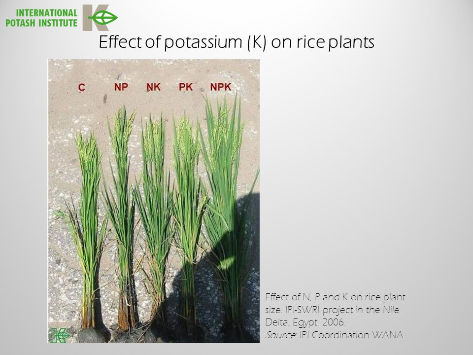 Effect of potassium (K) on rice plants Effect of N, P and K on rice plant size.