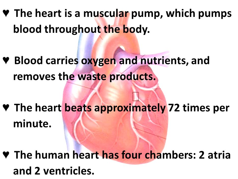 ♥ The heart is a muscular pump, which pumps blood throughout the body.