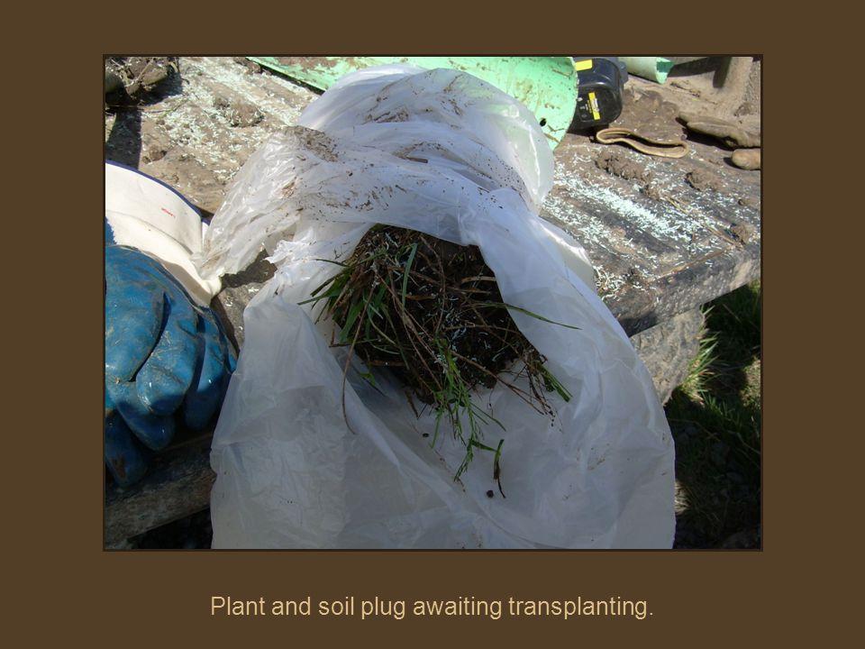 Plant and soil plug awaiting transplanting.