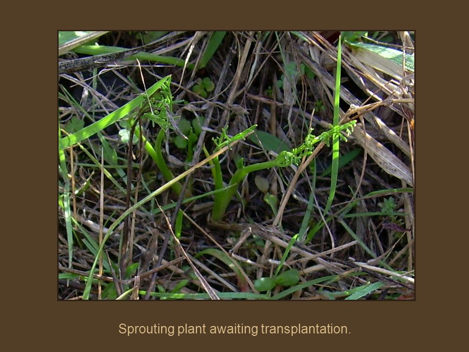 Sprouting plant awaiting transplantation.