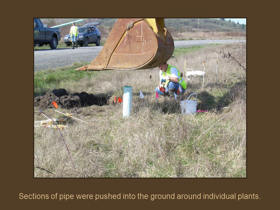 Sections of pipe were pushed into the ground around individual plants.