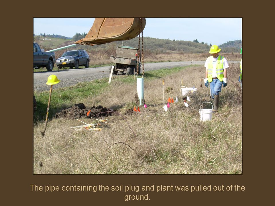 The pipe containing the soil plug and plant was pulled out of the ground.