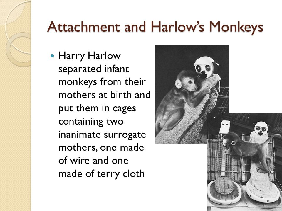 Attachment and Harlow's Monkeys Harry Harlow separated infant monkeys from their mothers at birth and put them in cages containing two inanimate surro