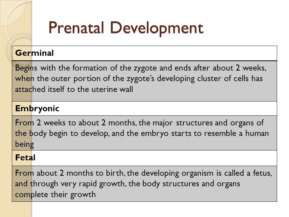 Prenatal Development Germinal Begins with the formation of the zygote and ends after about 2 weeks, when the outer portion of the zygote's developing