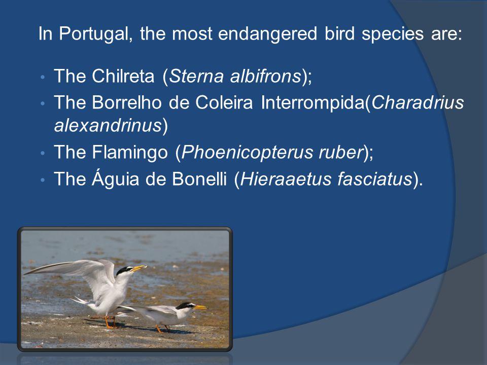 In Portugal, the most endangered bird species are: The Chilreta (Sterna albifrons); The Borrelho de Coleira Interrompida(Charadrius alexandrinus) The Flamingo (Phoenicopterus ruber); The Águia de Bonelli (Hieraaetus fasciatus).