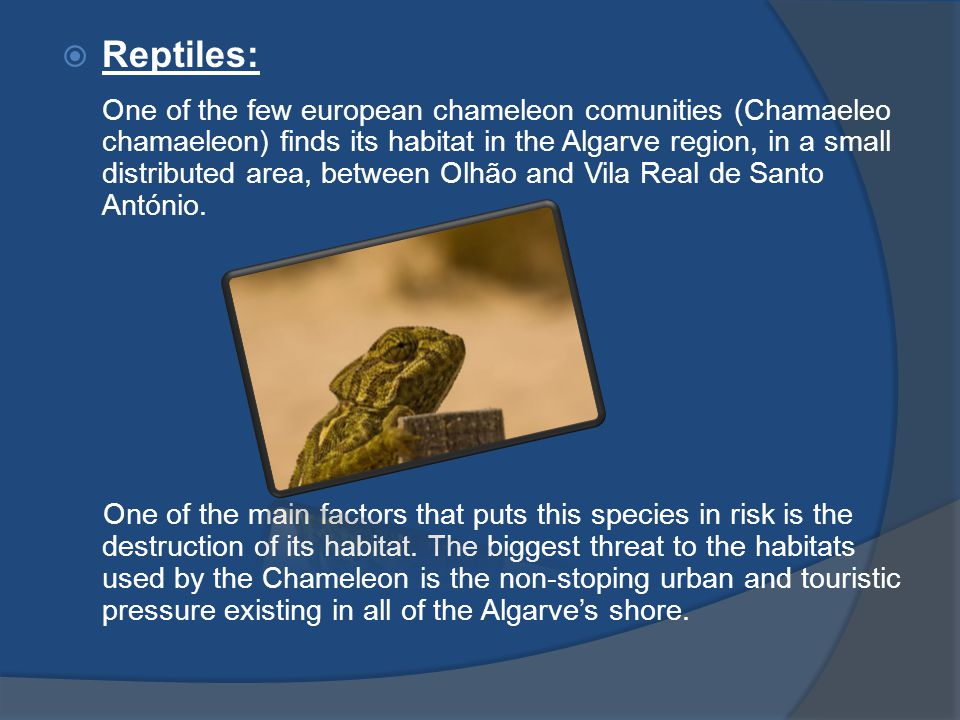  Reptiles: One of the few european chameleon comunities (Chamaeleo chamaeleon) finds its habitat in the Algarve region, in a small distributed area,