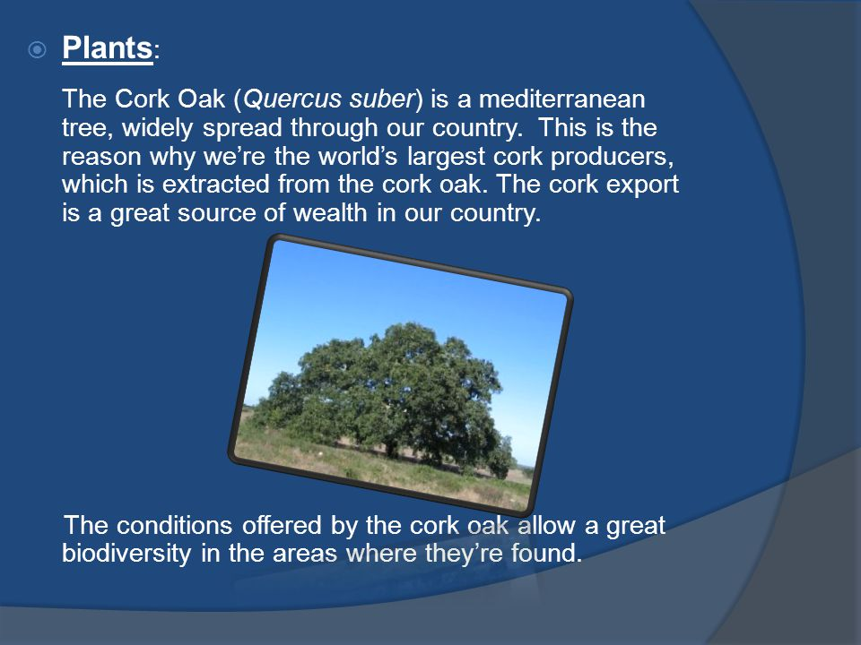  Plants : The Cork Oak (Quercus suber) is a mediterranean tree, widely spread through our country.