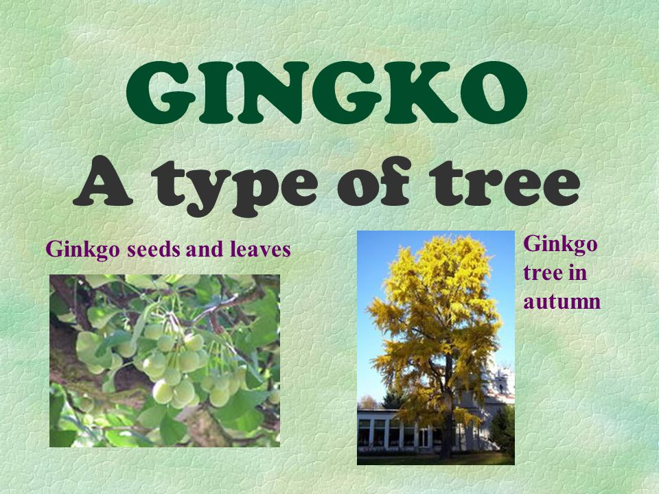 GINGKO A type of tree Ginkgo seeds and leaves Ginkgo tree in autumn
