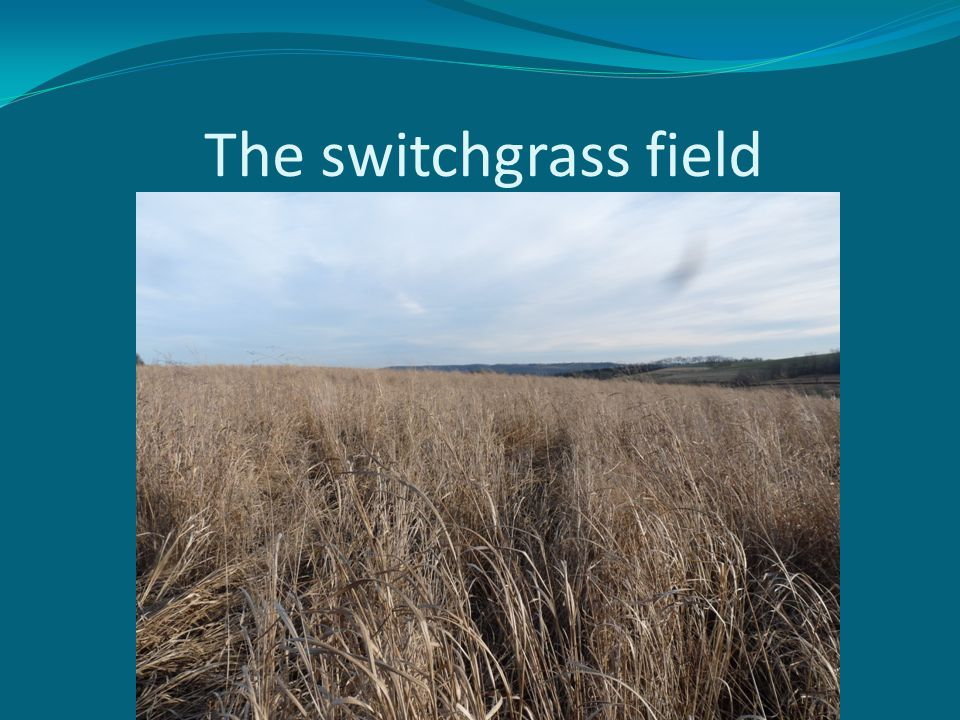The switchgrass field