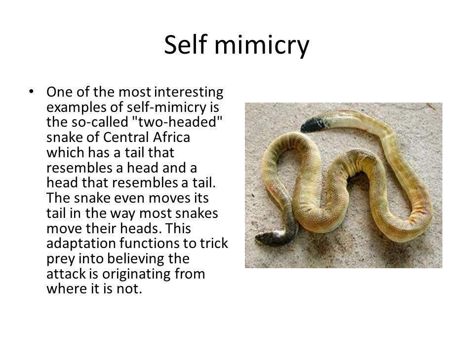 Self mimicry One of the most interesting examples of self-mimicry is the so-called