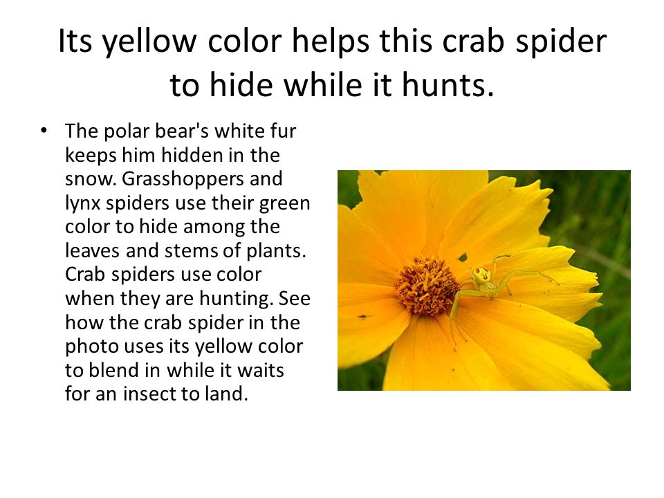 Its yellow color helps this crab spider to hide while it hunts. The polar bear's white fur keeps him hidden in the snow. Grasshoppers and lynx spiders
