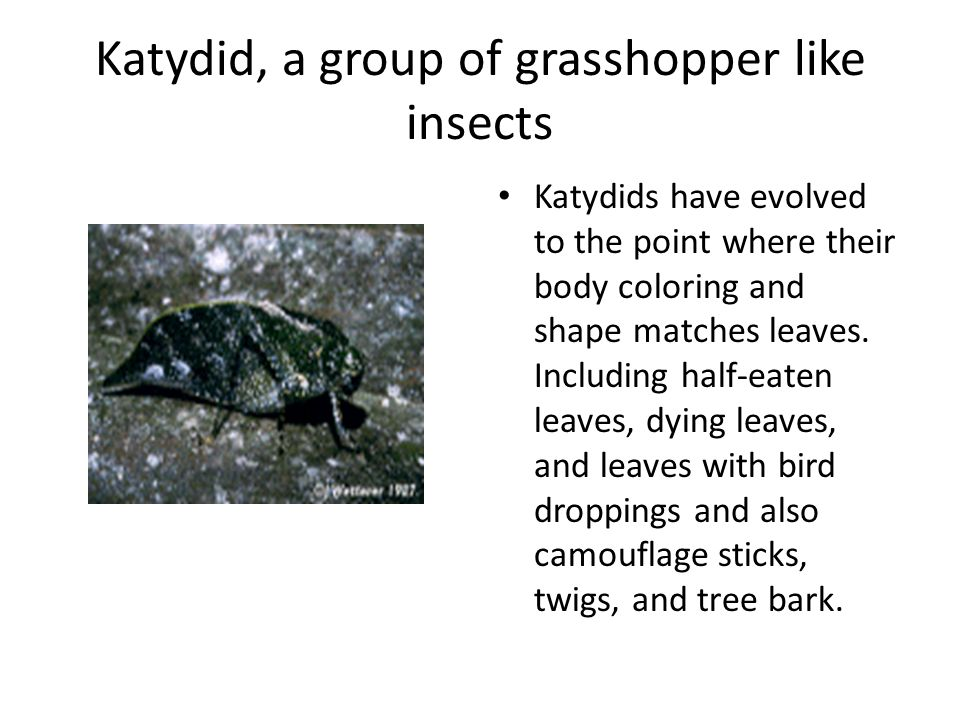 Katydid, a group of grasshopper like insects Katydids have evolved to the point where their body coloring and shape matches leaves. Including half-eat