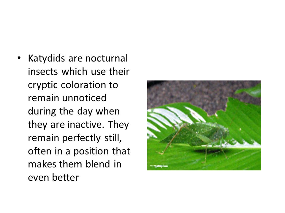 Katydids are nocturnal insects which use their cryptic coloration to remain unnoticed during the day when they are inactive. They remain perfectly sti