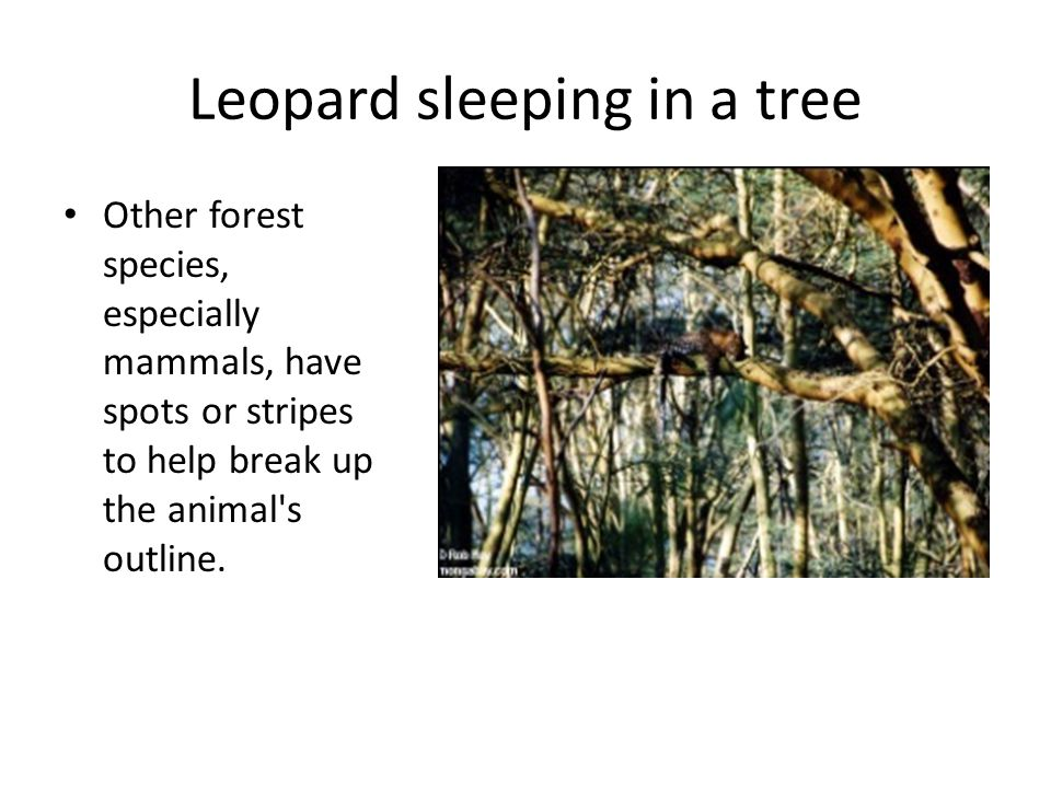 Leopard sleeping in a tree Other forest species, especially mammals, have spots or stripes to help break up the animal's outline.