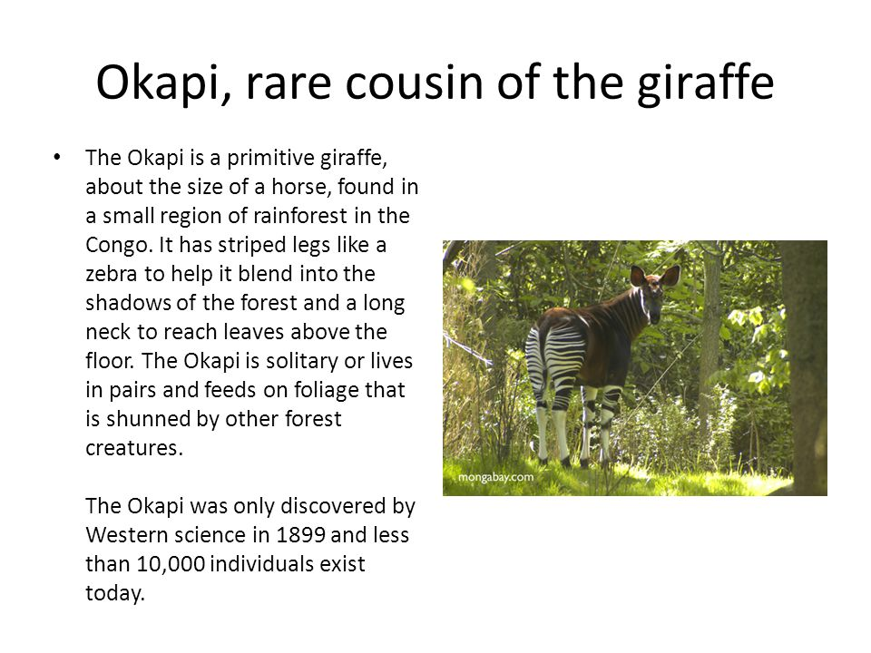 Okapi, rare cousin of the giraffe The Okapi is a primitive giraffe, about the size of a horse, found in a small region of rainforest in the Congo. It