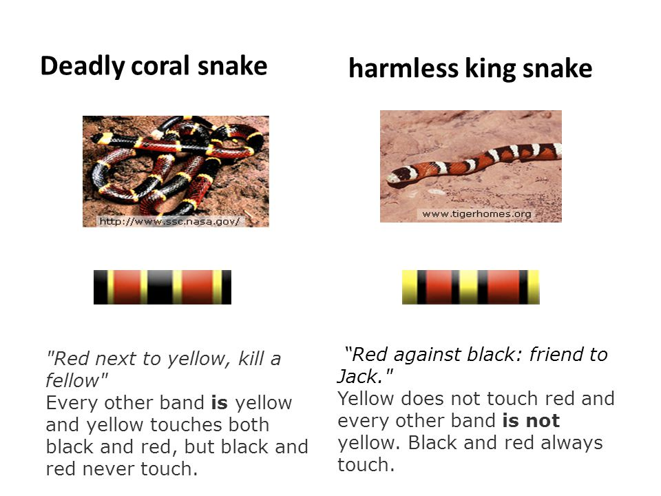 Deadly coral snake harmless king snake