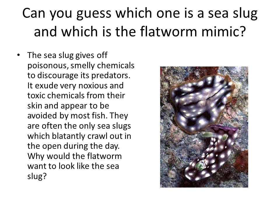 Can you guess which one is a sea slug and which is the flatworm mimic? The sea slug gives off poisonous, smelly chemicals to discourage its predators.