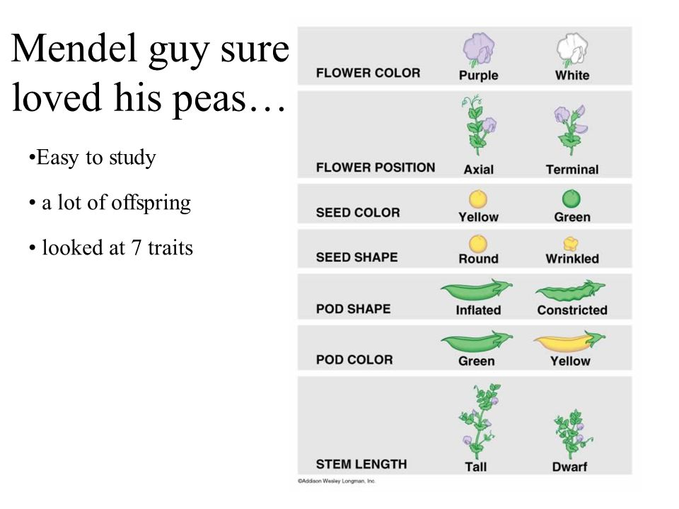 Mendel guy sure loved his peas… Easy to study a lot of offspring looked at 7 traits
