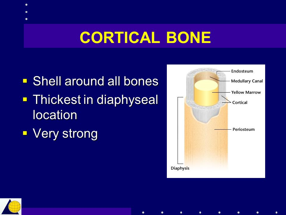 CORTICAL BONE  Shell around all bones  Thickest in diaphyseal location  Very strong