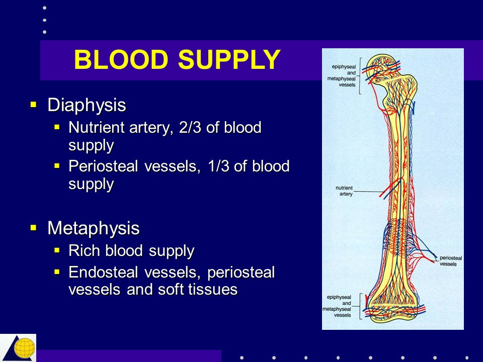  Diaphysis  Nutrient artery, 2/3 of blood supply  Periosteal vessels, 1/3 of blood supply  Metaphysis  Rich blood supply  Endosteal vessels, per