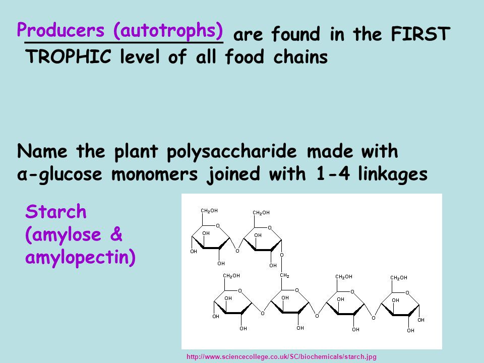 _________________ are found in the FIRST TROPHIC level of all food chains Producers (autotrophs) Name the plant polysaccharide made with α-glucose monomers joined with 1-4 linkages Starch (amylose & amylopectin) http://www.sciencecollege.co.uk/SC/biochemicals/starch.jpg