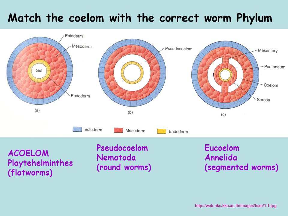 ACOELOM Playtehelminthes (flatworms) Match the coelom with the correct worm Phylum Pseudocoelom Nematoda (round worms) Eucoelom Annelida (segmented worms) http://web.nkc.kku.ac.th/images/lean/1-1.jpg