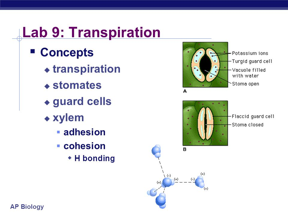 AP Biology Lab 9: Transpiration  Concepts  transpiration  stomates  guard cells  xylem  adhesion  cohesion  H bonding