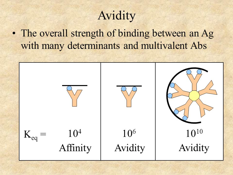 Avidity The overall strength of binding between an Ag with many determinants and multivalent Abs K eq = 10 4 Affinity 10 6 Avidity 10