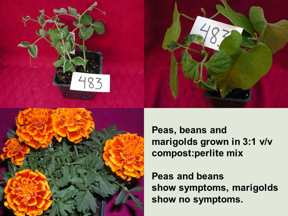 Peas, beans and marigolds grown in 3:1 v/v compost:perlite mix Peas and beans show symptoms, marigolds show no symptoms.