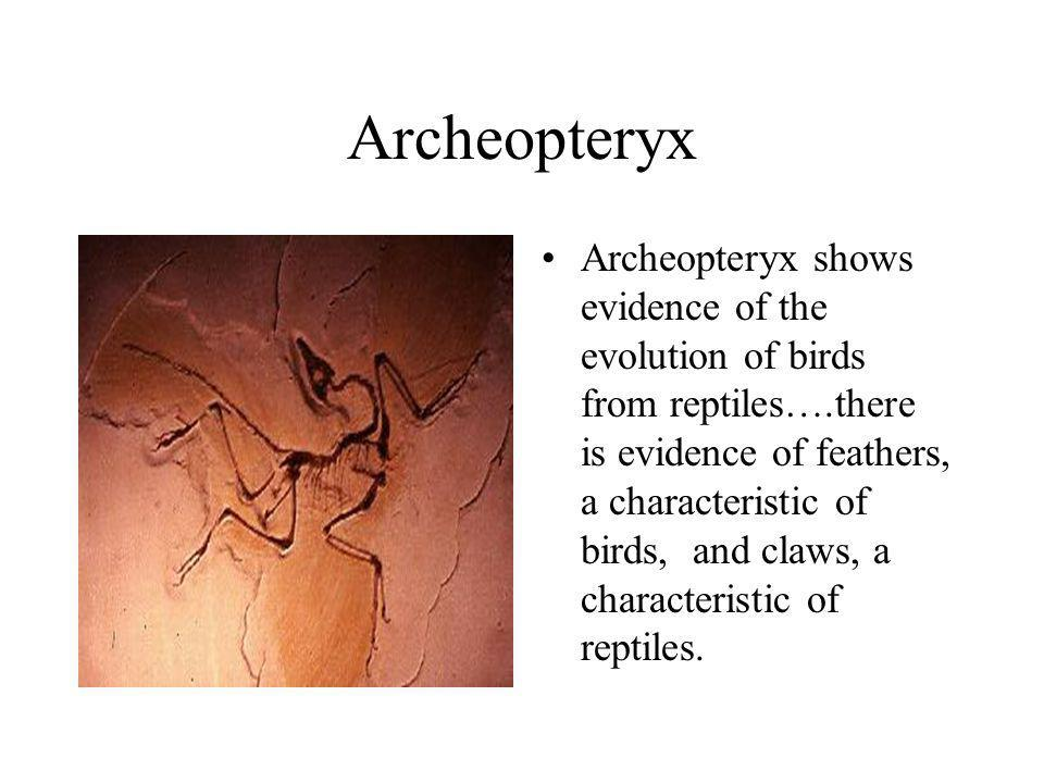 Archeopteryx Archeopteryx shows evidence of the evolution of birds from reptiles….there is evidence of feathers, a characteristic of birds, and claws,