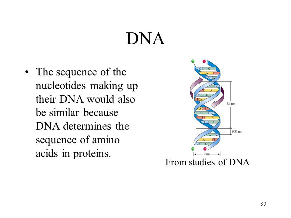 30 DNA The sequence of the nucleotides making up their DNA would also be similar because DNA determines the sequence of amino acids in proteins. From